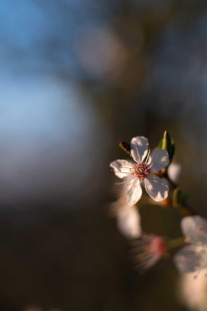 Blackthorn flower blossom in evening sunlight with soft bokeh background, vintage lens bokeh colour abstract portrait photograph C. Z. Jena Tessar 50mm lens Mill Lane Poynings West Sussex UK ©P. Maton 2019 eyeteeth.net