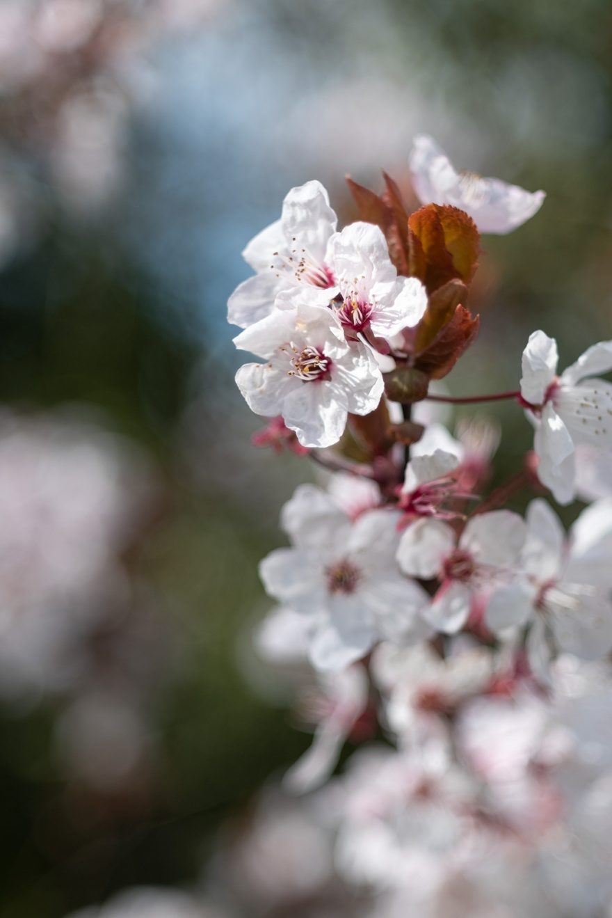 Sand Cherry Prunus x cistena Poynings West Sussex Zeiss Jena Tessar 50mm  blossom and bokeh © P. Maton 2019 eyeteeth.net
