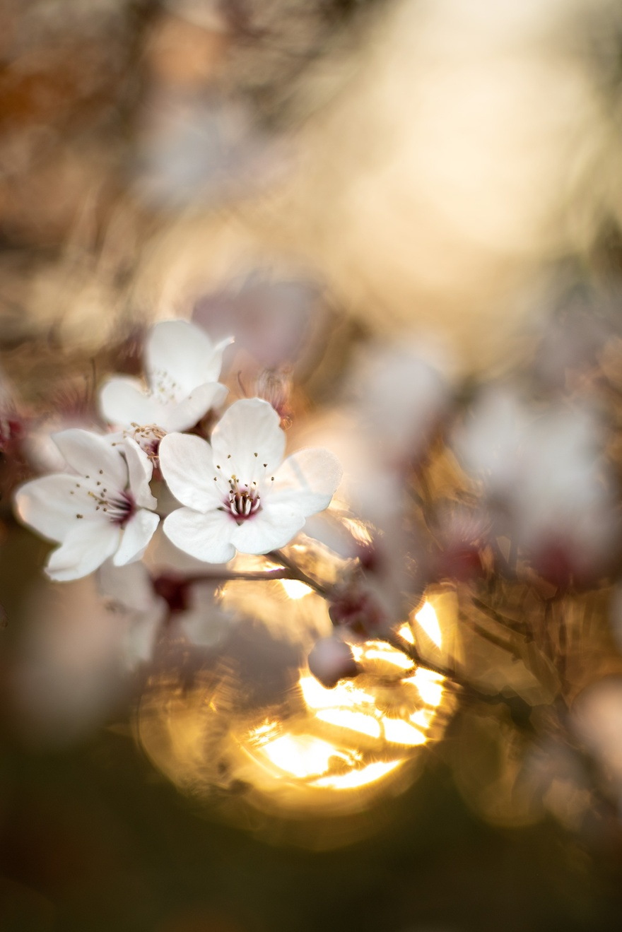 Sand Cherry prunus x cistena blossom with setting sun in background and heavy bokeh golden hour yashinon DS-M 50mm abstract nature composition colour portrait photograph Poynings West Sussex UK ©P. Maton 2019 eyeteeth.net