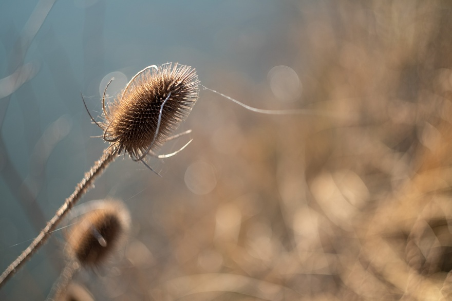 Teazle Teasel in evening sunlight with water in background, vintage lens bokeh colour abstract portrait photograph Helios 44-2 58mm lens Mill Lane Poynings West Sussex UK ©P. Maton 2019 eyeteeth.net