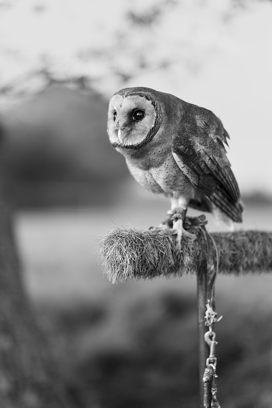 Ashy faced owl on stand with tether portrait, black and white portrait composition Poynings West Sussex ©P. Maton 2019 eyeteeth.net