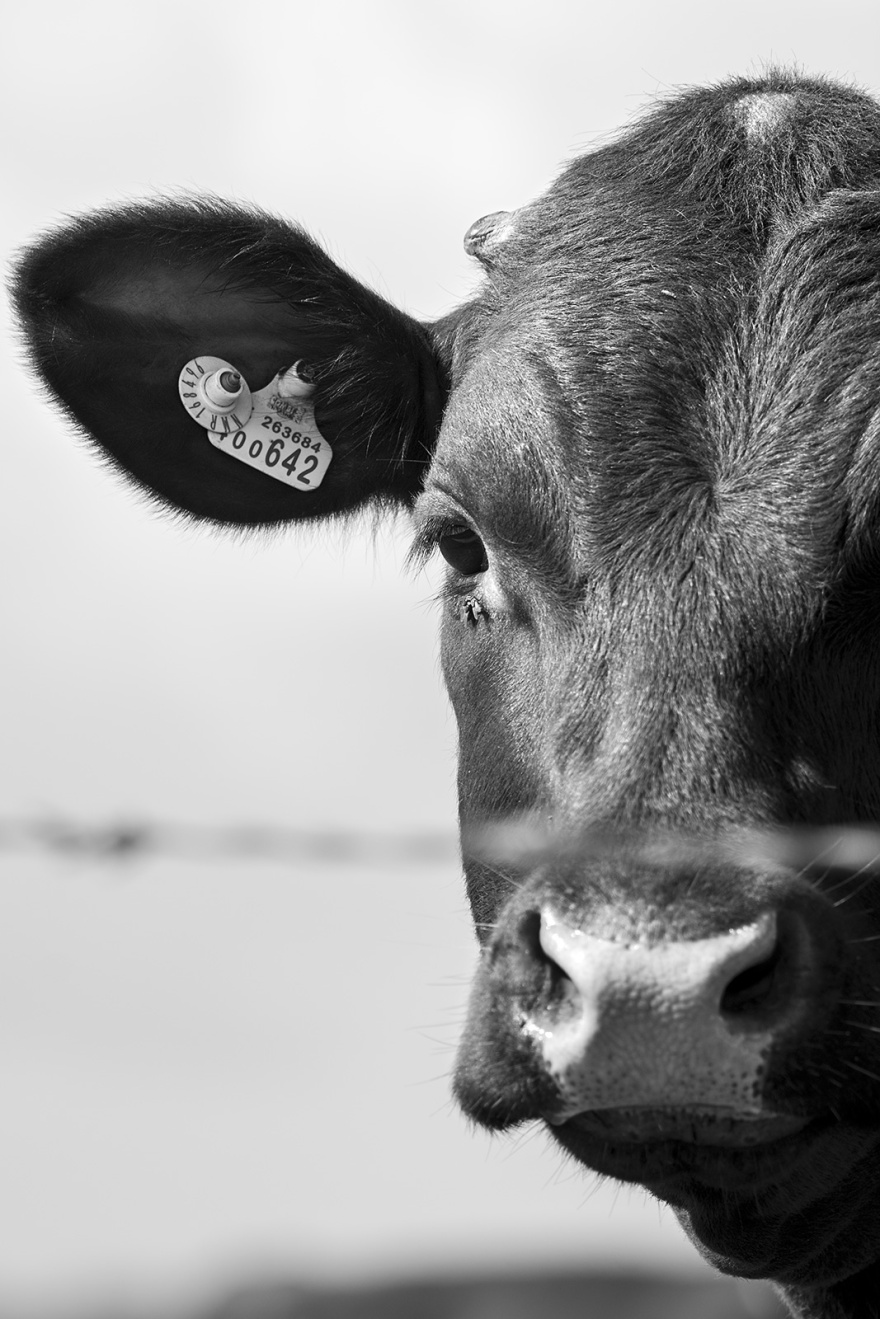 Bullock portrait, black and white portrait composition Poynings West Sussex ©P. Maton 2019 eyeteeth.net