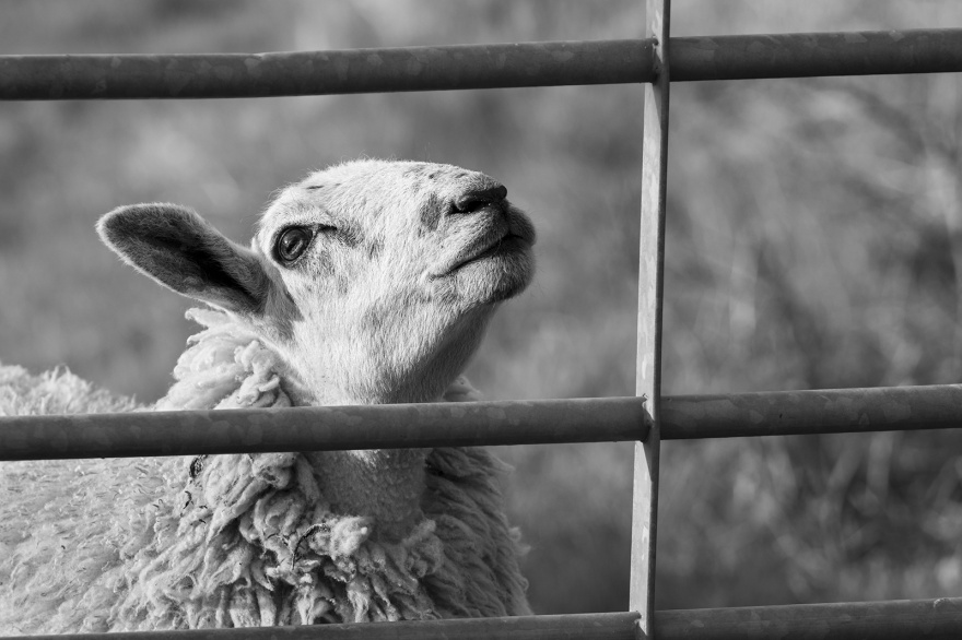 Ewe with chin raised up by metal gate, rural livestock portrait, black and white rural farm animal photograph Poynings West Sussex UK ©P. Maton 2019 eyeteeth.net