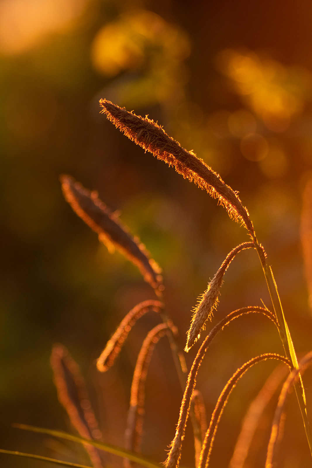 Flowering grass heads in golden hour evening sun, abstract closeup nature photography West Sussex UK ©P. Maton 2019 eyeteeth.net