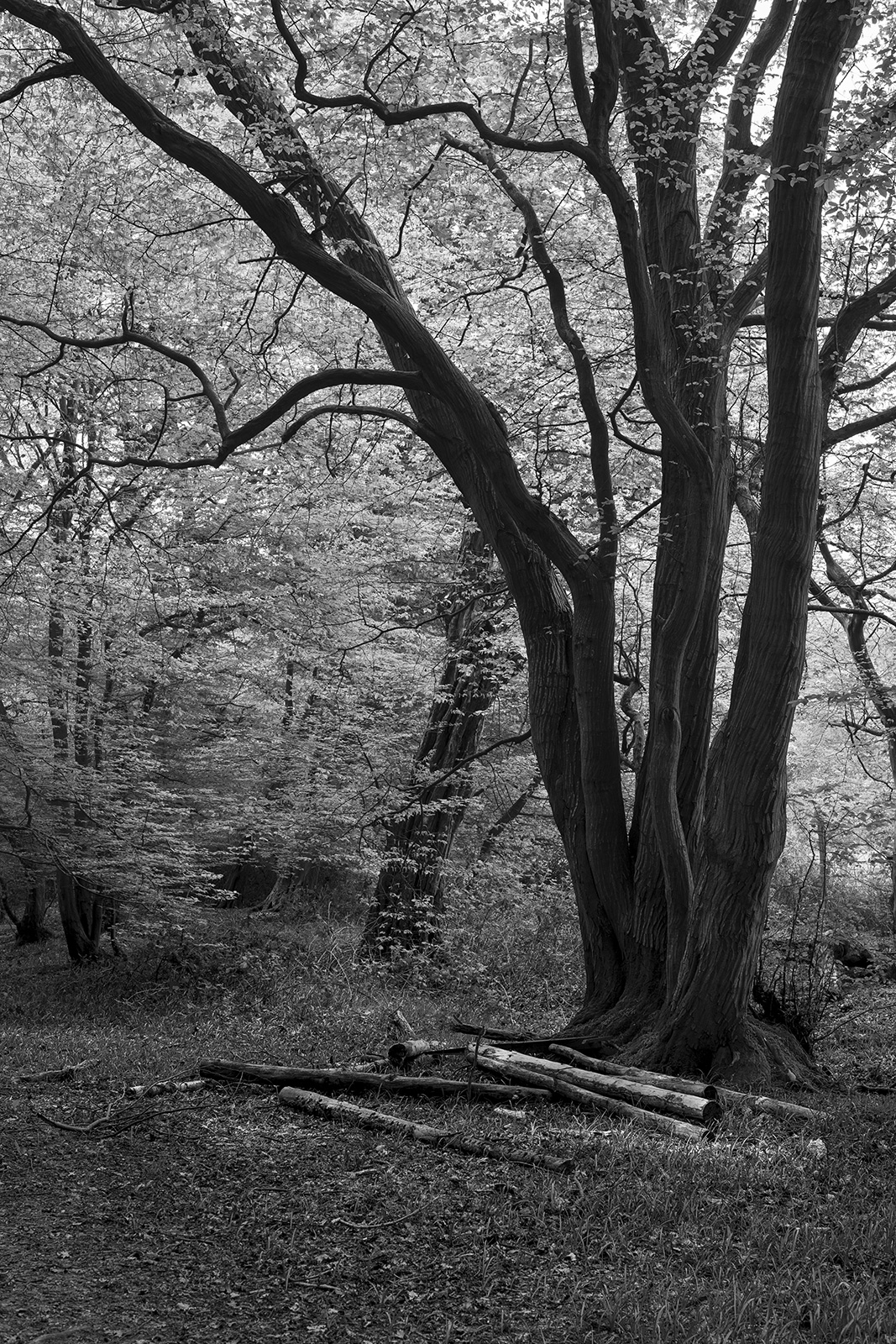 Coppiced Hornbeam tree in woodland with cut logs on ground, black and white nature photography documentary britain ©P. Maton 2019 eyeteeth.net