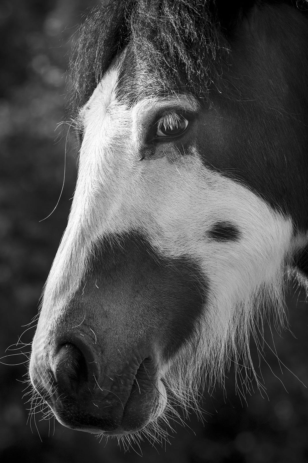 Piebald horse portrait, black and white portrait composition Poynings West Sussex ©P. Maton 2019 eyeteeth.net