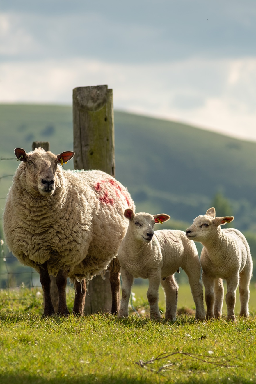 Sheep with two lambs by gate post with south downs in background in evening sunshine, colour landscape portrait composition Poynings West Sussex ©P. Maton 2019 eyeteeth.net