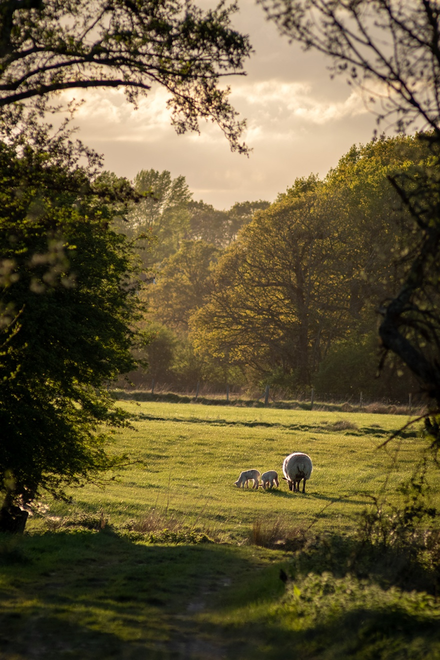 Sheep and lambs in rural pasture in evening sunshine, colour landscape portrait composition Poynings West Sussex ©P. Maton 2019 eyeteeth.net