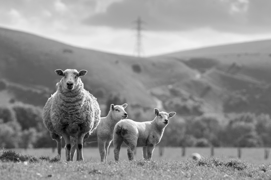 Sheep with two lambs in field with south downs in background in evening sunshine, black and white landscape portrait composition Poynings West Sussex ©P. Maton 2019 eyeteeth.net