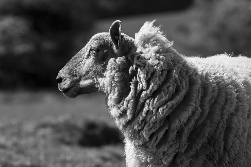 Female sheep profile portrait, black and white portrait composition Poynings West Sussex ©P. Maton 2019 eyeteeth.net