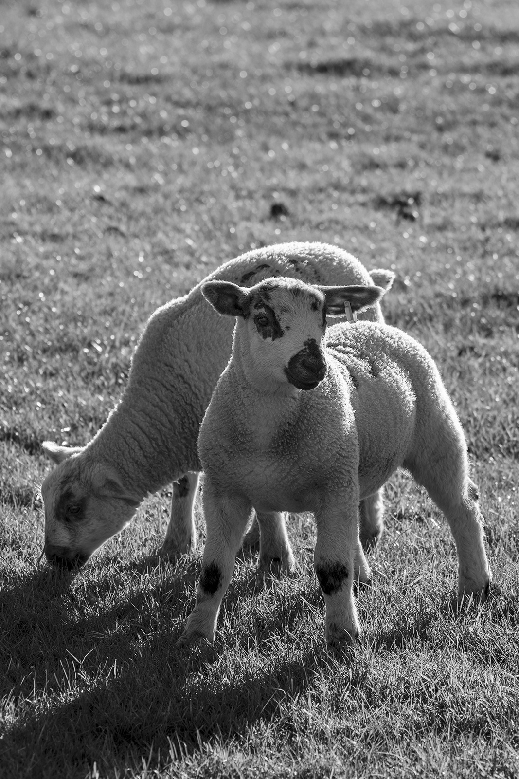 Two lambs in meadow one grazing one looking past camera to the right, back lit sunset scene, black and white rural farm animal photograph Poynings West Sussex UK ©P. Maton 2019 eyeteeth.net