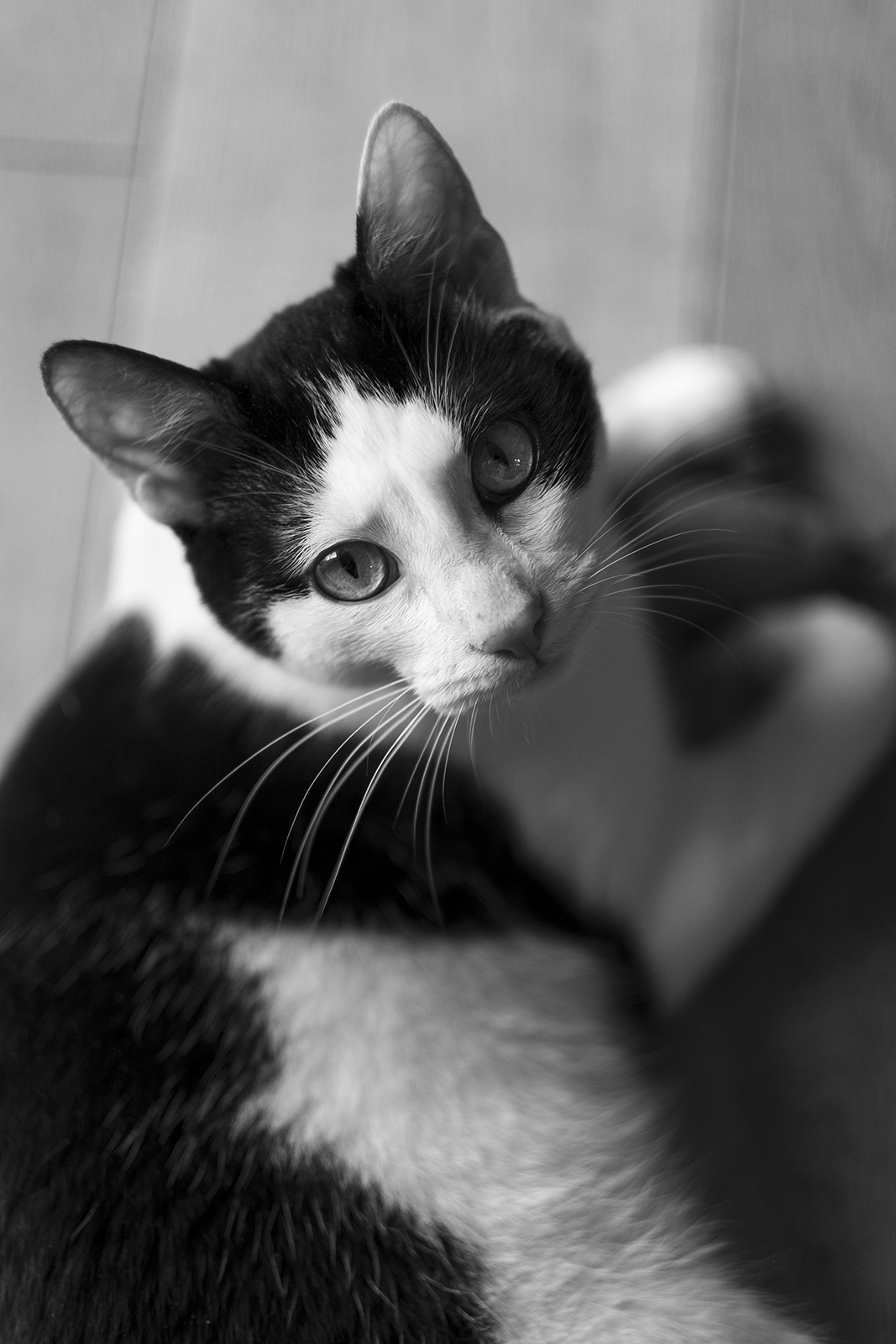 Black and white cat looking up at viewer black and white portrait photograph P. Maton 2019 eyeteeth.net