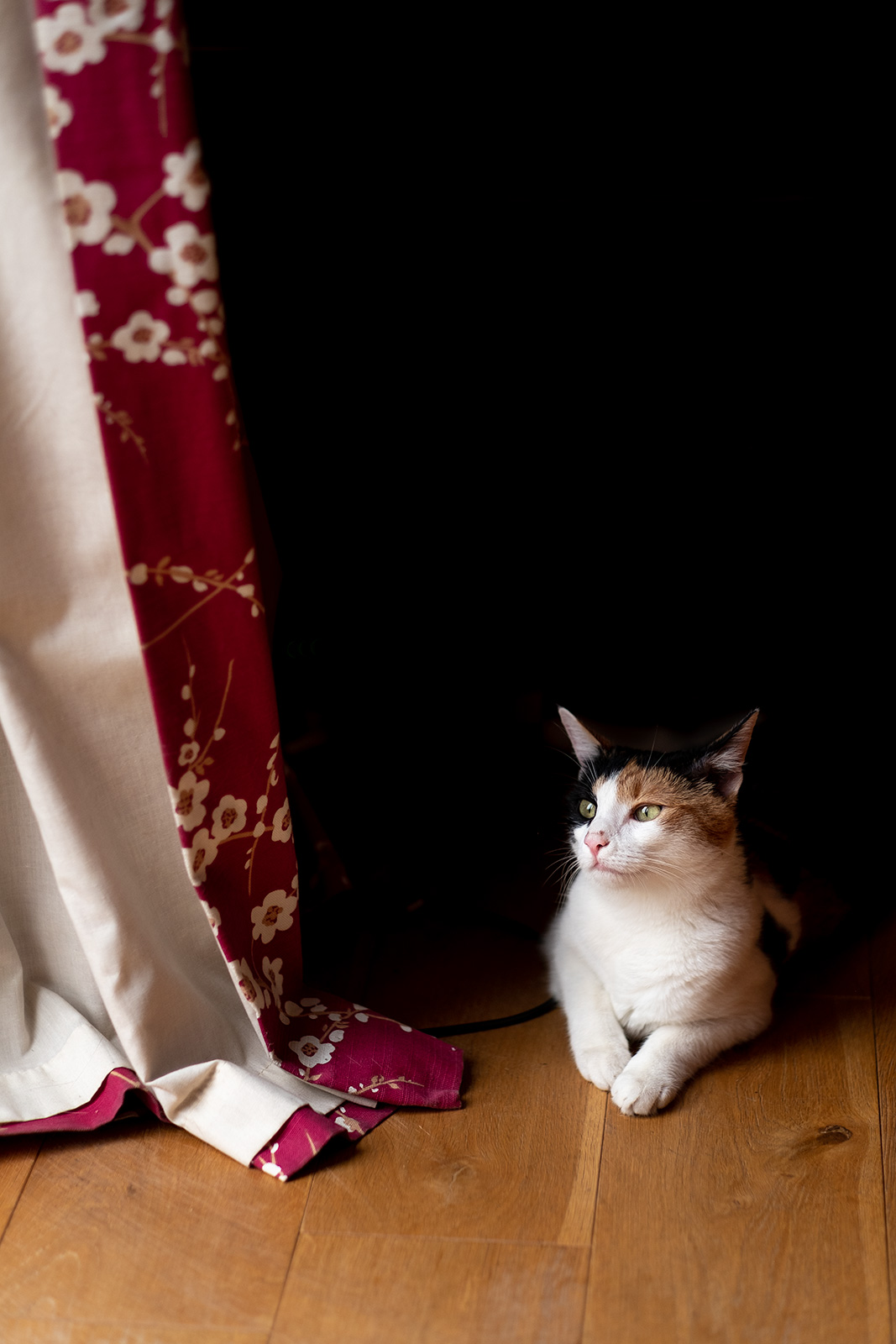 Black, white and ginger cat on wooden floor looking into light sitting by red curtain photograph P. Maton 2019 eyeteeth.net