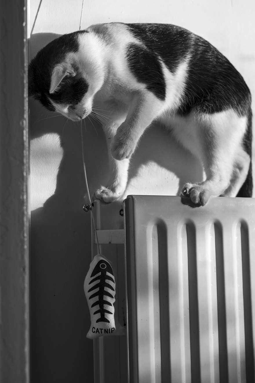 Black and white cat standing on radiator poised to catch fish toy black and white portrait photograph P. Maton 2019 eyeteeth.net