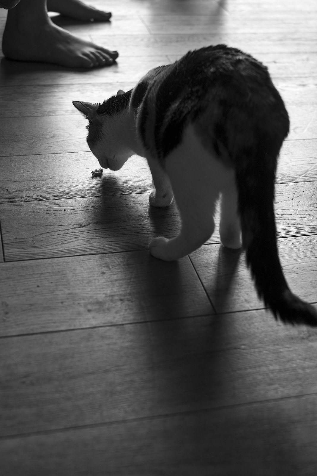 Black and white cat sniffing at food on wooden floor black and white portrait photograph P. Maton 2019 eyeteeth.net