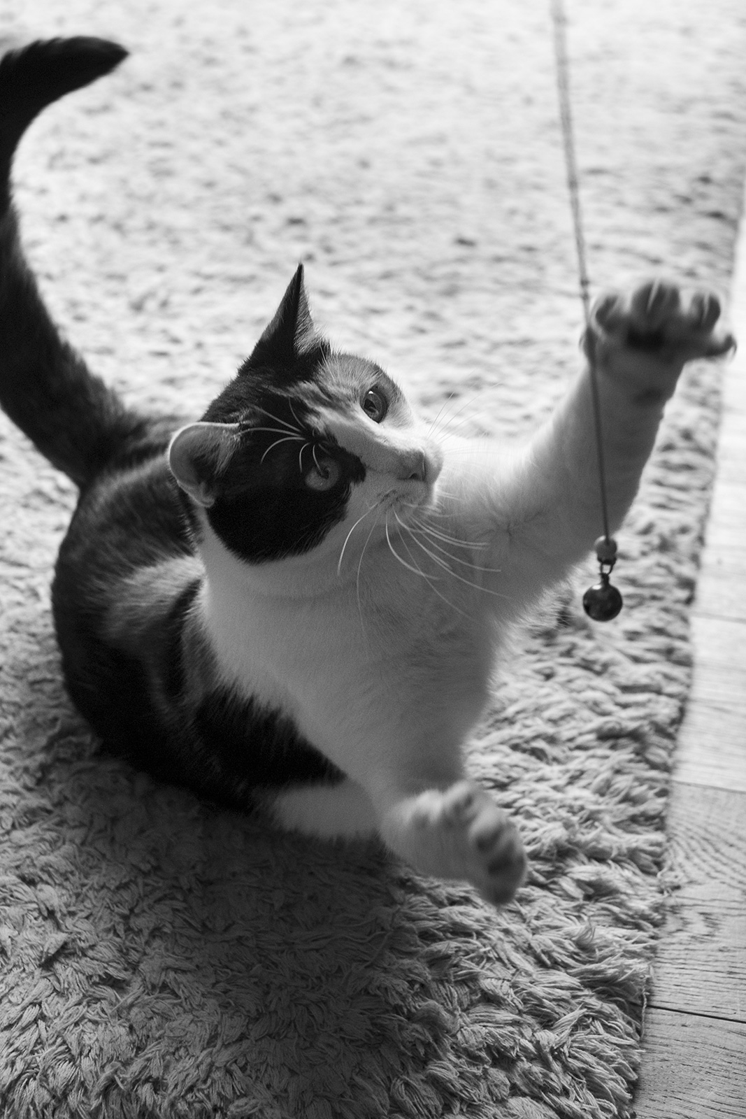 cat swiping at bell toy black and white documentary portrait  © P. Maton 2019 eyeteeth.net