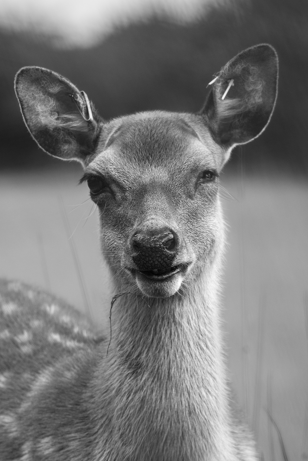 Fallow deer doe with one eye closeup portrait, rural monochrome portrait Woodmancote West Sussex UK ©P. Maton 2019 eyeteeth.net