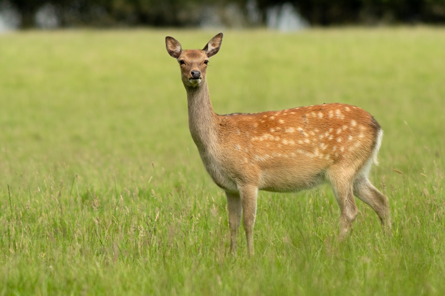 Fallow deer doe female in meadow grass and sunlight, rural wildlife photography Woodmancote West Sussex UK ©P. Maton 2019 eyeteeth.net