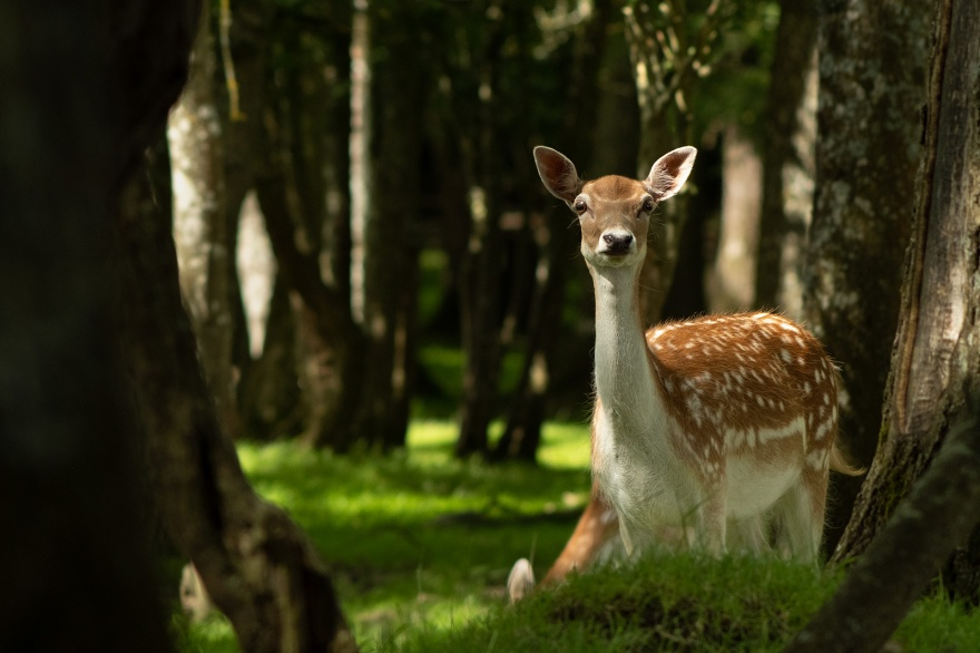 Fallow deer doe female in woodland with dappled sun light, Woodmancote West Sussex UK ©P. Maton 2019 eyeteeth.net
