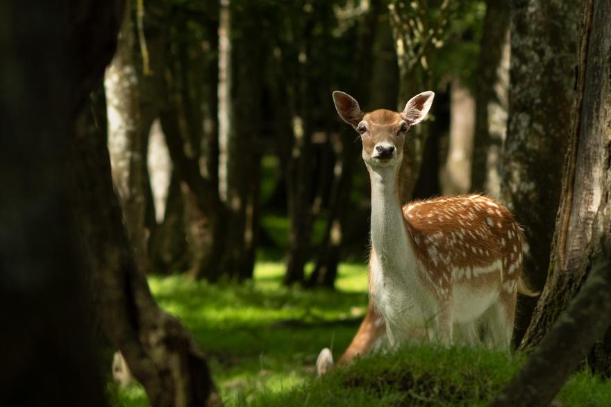 Fallow deer doe female in woodland with dappled sun light, Woodmancote West Sussex UK ©P. Maton 2019 eyeteeth.net
