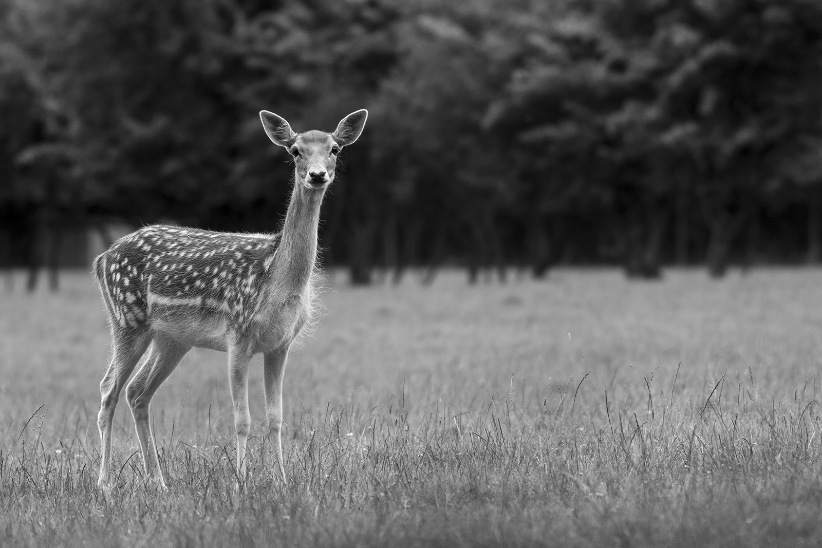 Fallow deer doe female in meadow grass, rural black and white wildlife photography Woodmancote West Sussex UK ©P. Maton 2019 eyeteeth.net