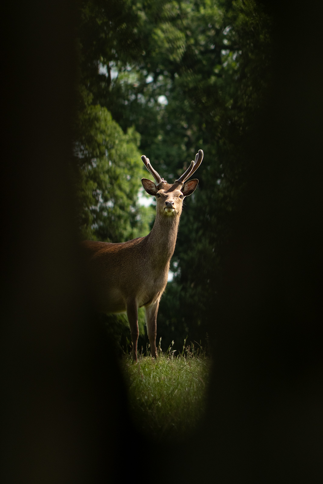 Fallow deer stag with green antlers standing in meadow grass seen through cleft in tree, rural colour portrait Woodmancote West Sussex UK ©P. Maton 2019 eyeteeth.net