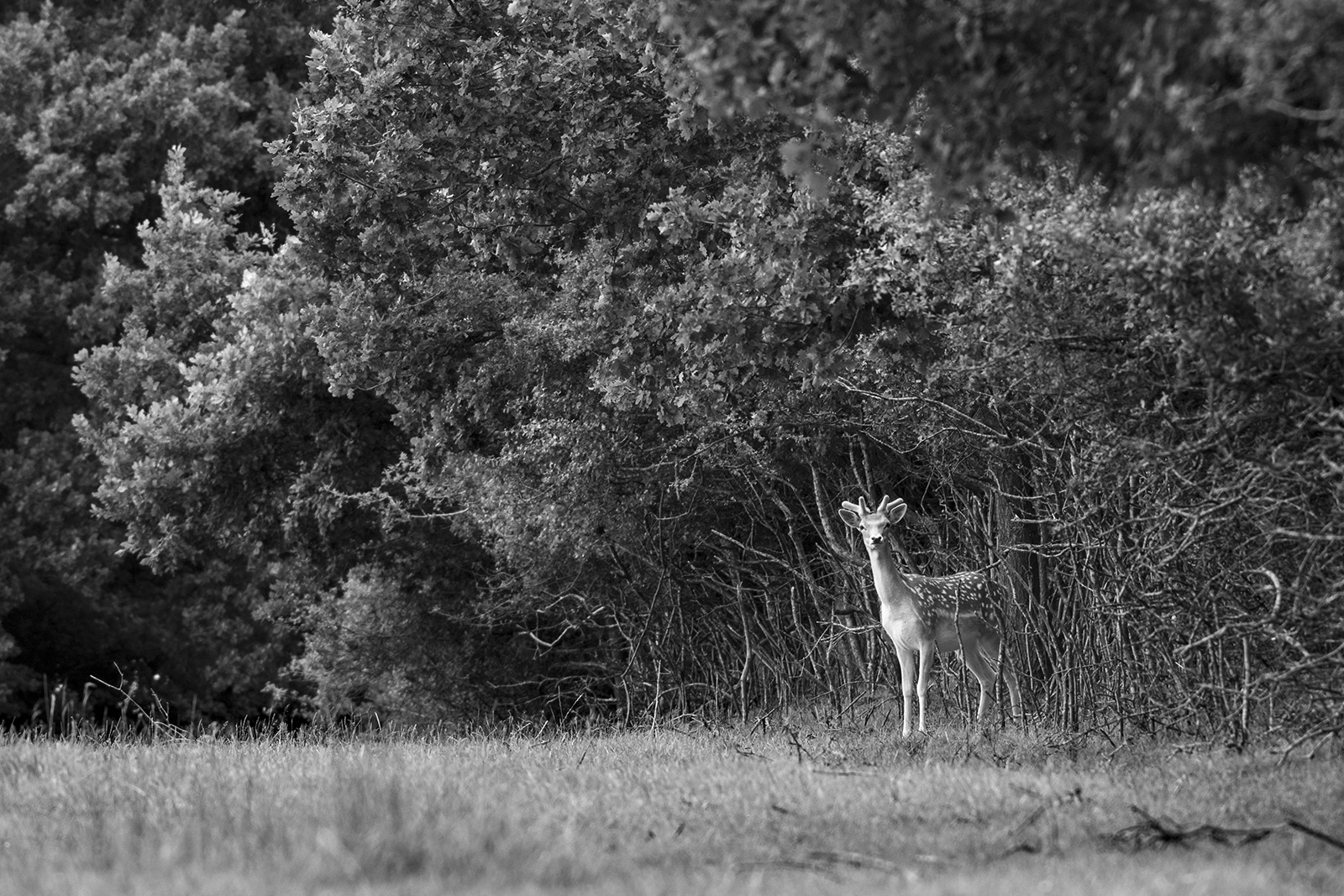 Fallow deer stag with green antlers standing by hedge in meadow grass, rural monochrome portrait Woodmancote West Sussex UK ©P. Maton 2019 eyeteeth.net
