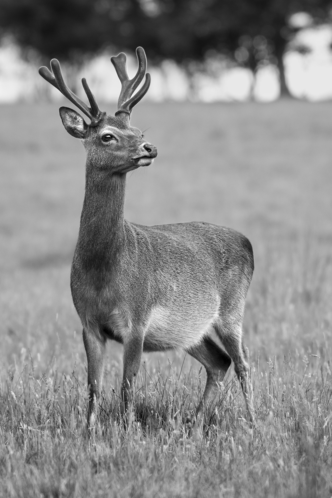 Fallow deer stag with green antlers standing in meadow grass, rural monochrome portrait Woodmancote West Sussex UK ©P. Maton 2019 eyeteeth.net