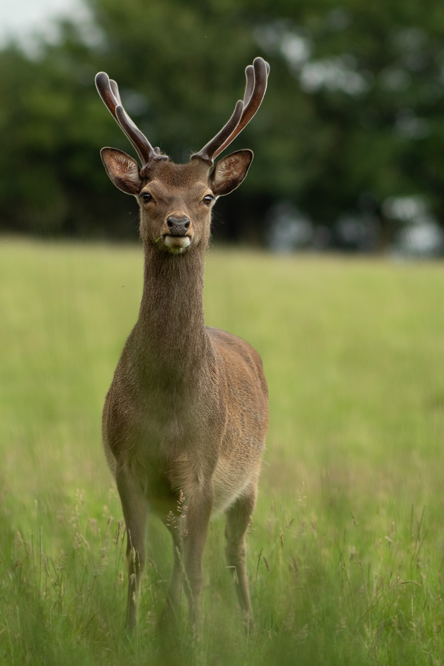 Fallow deer stag with green antlers standing in meadow grass, rural wildlife photography portrait Woodmancote West Sussex UK ©P. Maton 2019 eyeteeth.net
