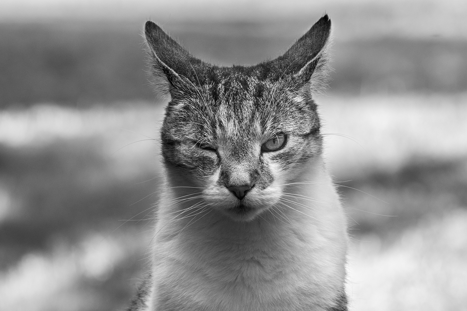 Tabby and white cat looking at viewer and winking ©P. Maton 2019 eyeteeth.net