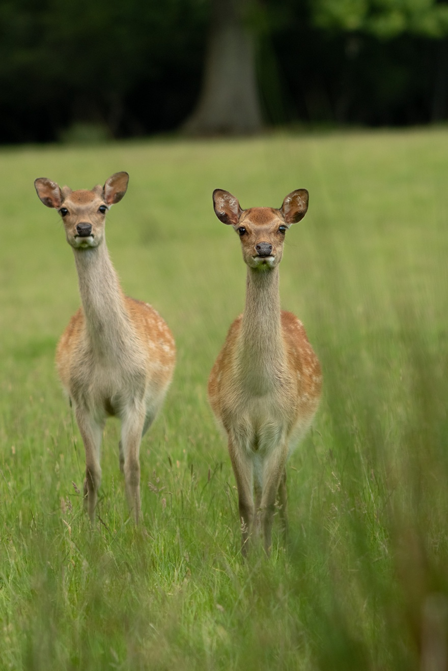Young Fallow deer male and female in meadow grass, rural wildlife photography portrait Woodmancote West Sussex UK ©P. Maton 2019 eyeteeth.net