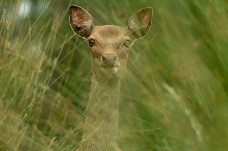 Fallow deer doe looking at camera through blurred common rushes colour landscape close-up portrait Woodmancote West Sussex UK ©P. Maton 2019 eyeteeth.net