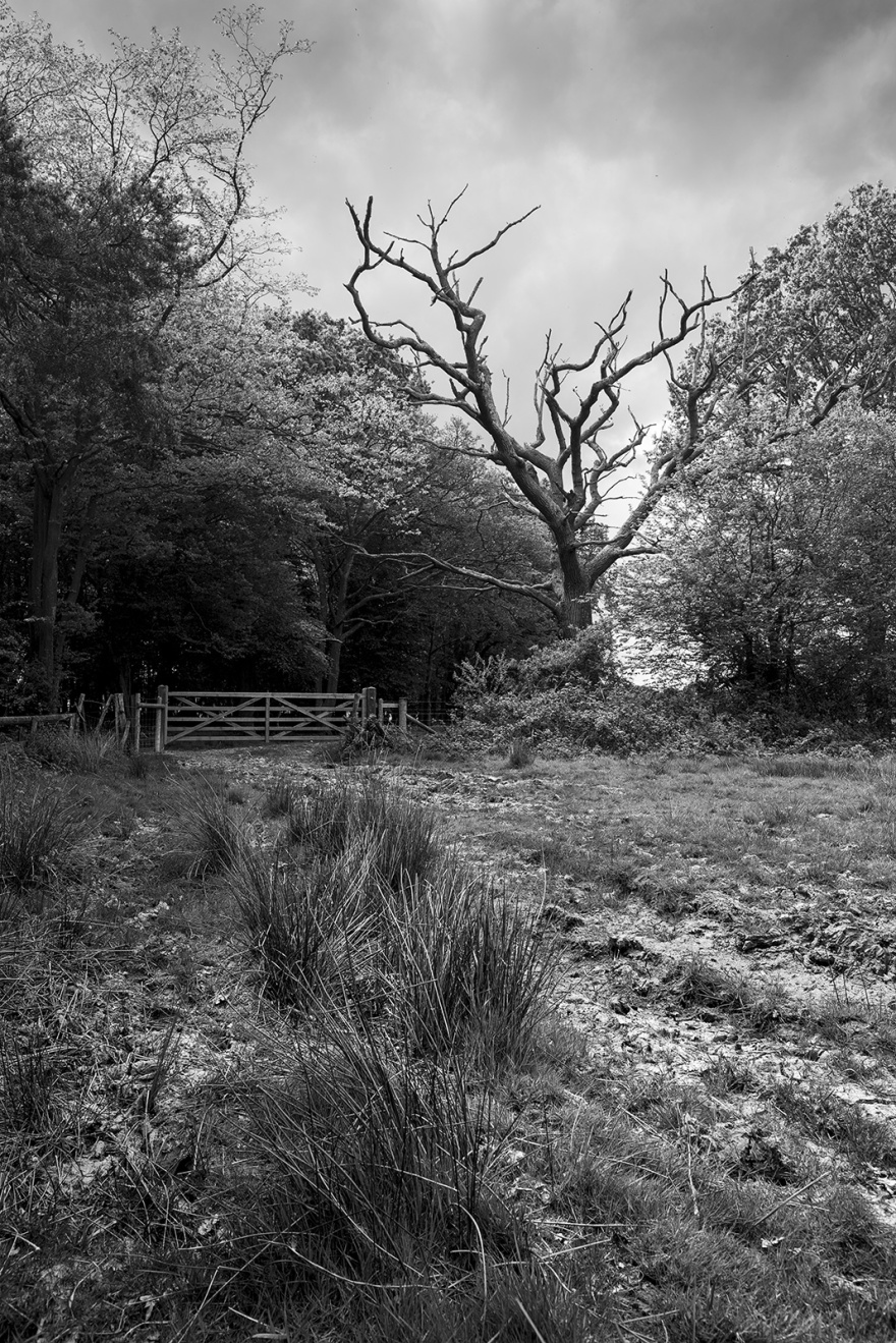 Dead Oak tree by gate in corner of marshy field Glyndbourne Wood, Hamsley's Rough Halland East Sussex UK black and white rural landscape portrait ©P. Maton 2019 eyeteeth.net