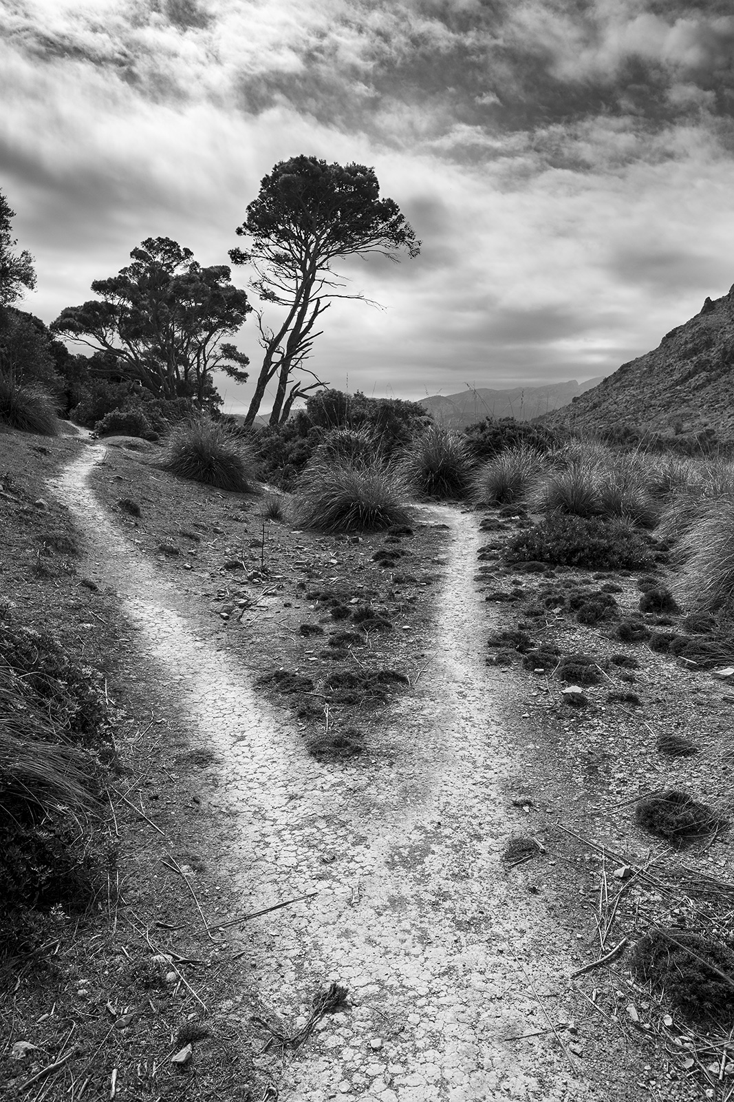 Forked foot path leading between clumps of grasses towards tall pine trees with Boquer valley and Mediterranean mountains in distance, documentary black and white landscape portrait Mallorca Spain ©P. Maton 2019 eyeteeth.net