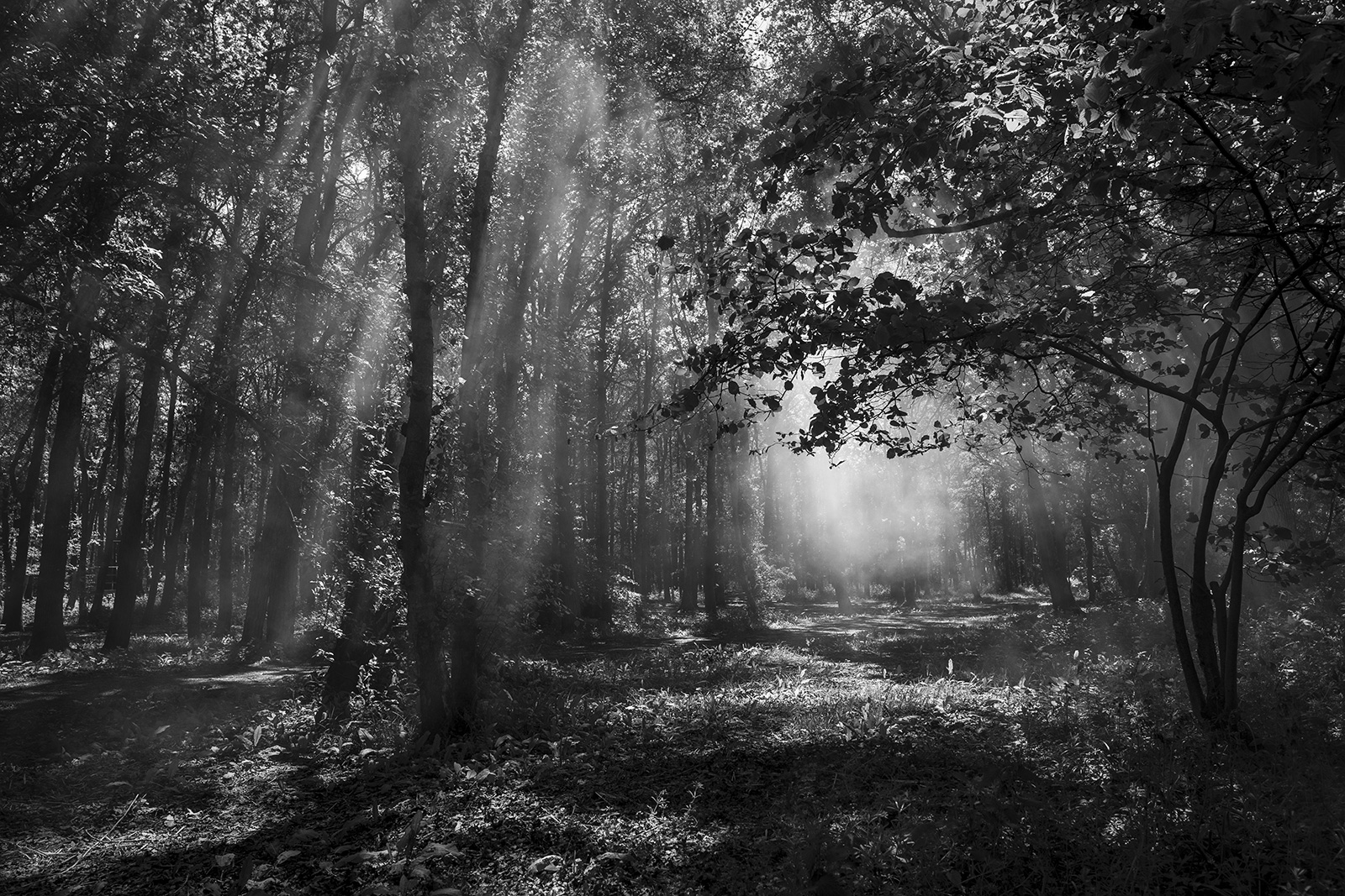 Sun rays through smoke among trees Glyndbourne Wood Halland East Sussex UK black and white rural landscape ©P. Maton 2019 eyeteeth.net