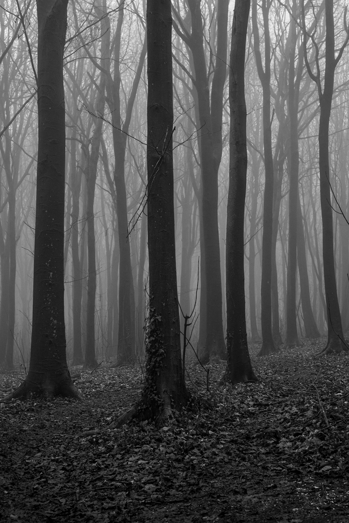 Beech tree plantation trunks receding into fog, black and white rural landscape portrait Pudding Bag Stanmer Park West Sussex UK ©P. Maton 2020 eyeteeth.net