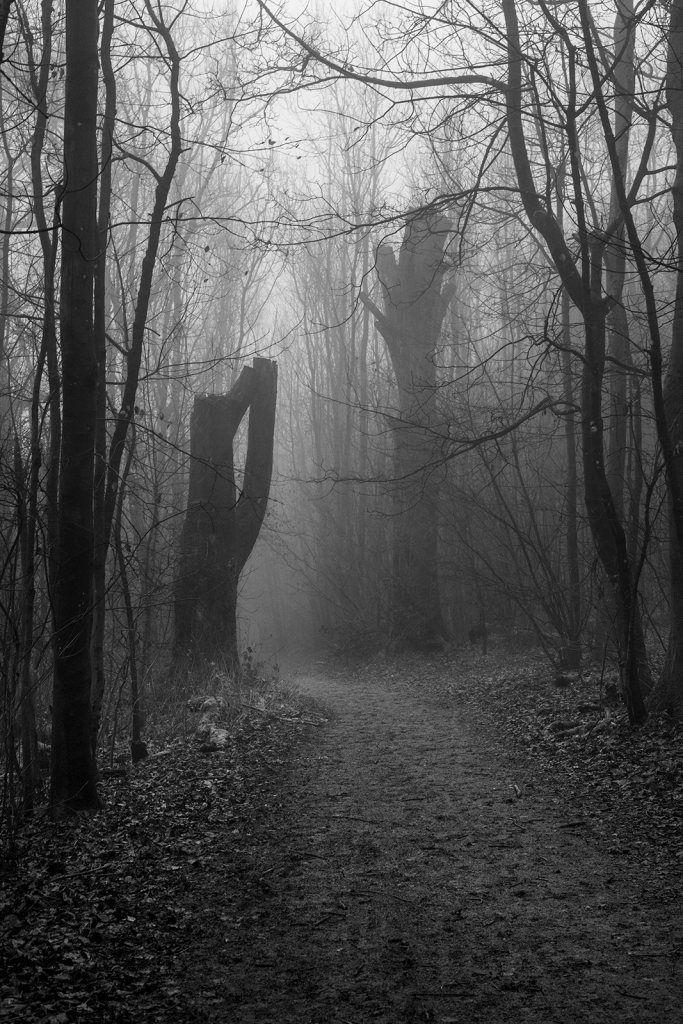 Large dead Beech trees with missing branches either side of pathway through coppiced trees shrouded in fog, black and white rural landscape portrait Pudding Bag Stanmer Park West Sussex UK ©P. Maton 2020 eyeteeth.net