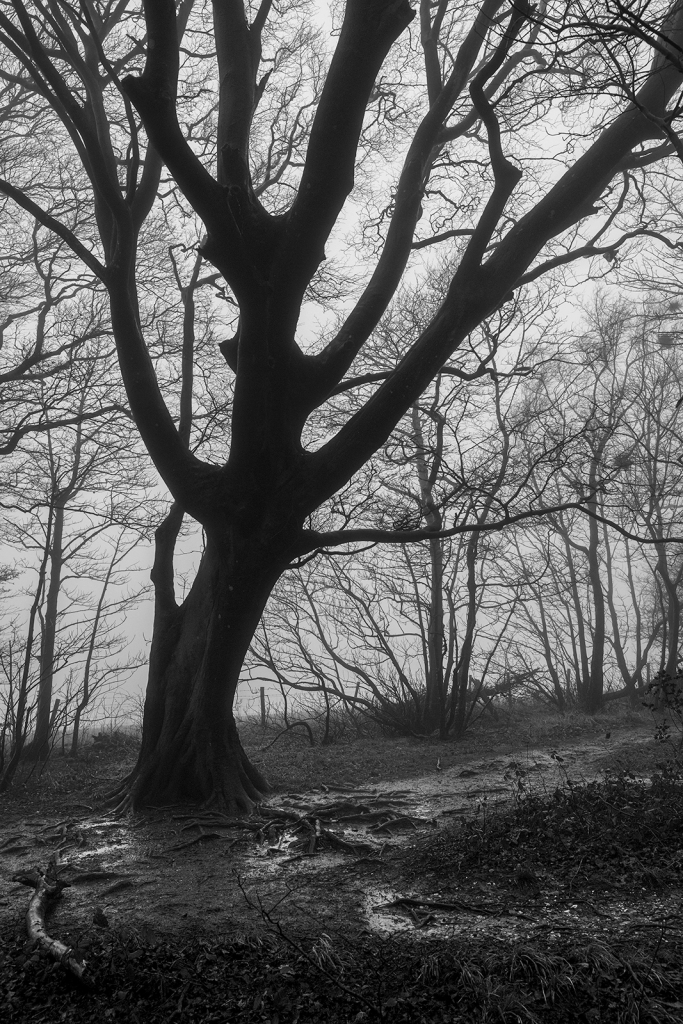 Beech tree with spending limbs silhouetted against fog with scraggy hedge and wet muddy path in foreground, black and white rural landscape portrait Upper Lodge Wood Stanmer Park West Sussex UK ©P. Maton 2020 eyeteeth.net