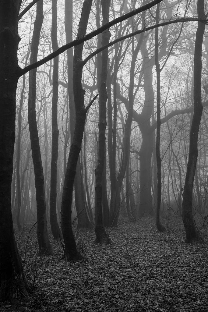 Beech tree plantation trunks receding into fog and large trees with spreading branches in background, black and white rural landscape portrait Old Boat Corner Stanmer Park West Sussex UK ©P. Maton 2020 eyeteeth.net